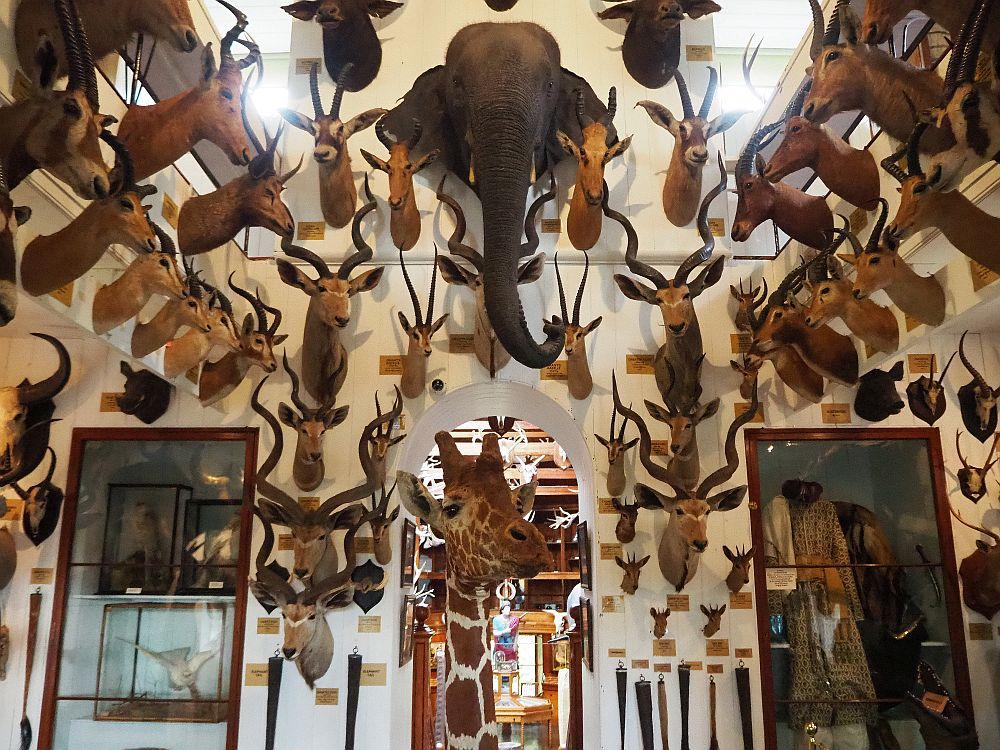 The collection of hunting trophies in the first room in Dunrobin Castle Museum.