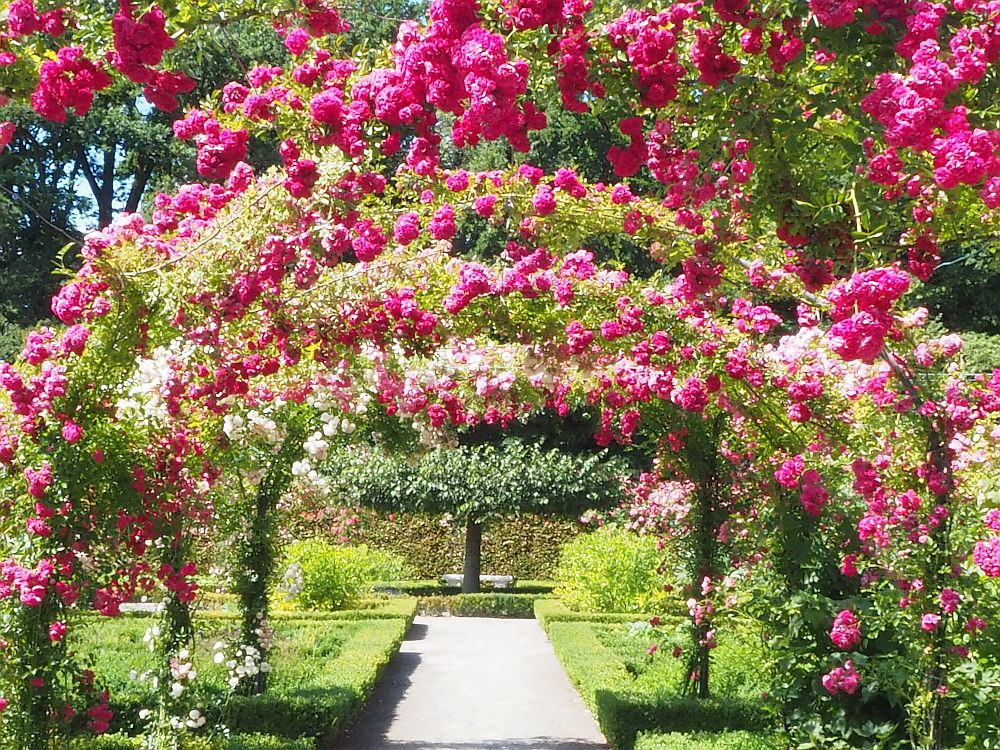 The bright pink roses form an arch over a pathway in the garden at Menkemaborg. Beyond is a neatly trimmed tree.