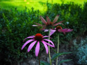 Purple daisy-like flowers with a round, red center. Only one is clearly visible, the others are blurred behind it.