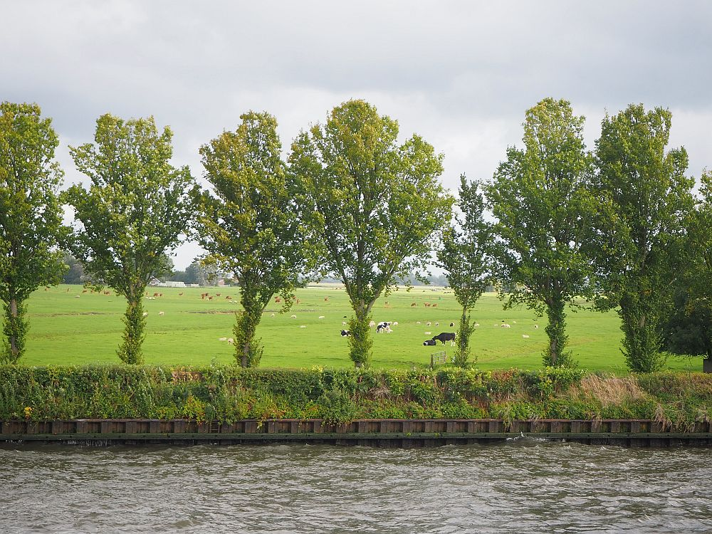 The riverbank has a line of trees, very evenly spaced. Beyond them is a green field dotted with cows and sheep in the distance.