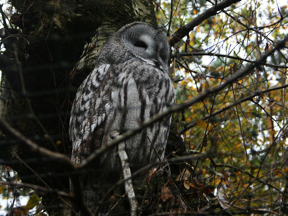 An owl sits inside a mesh cage on a branch of a tree. The owl is various shades of gray,