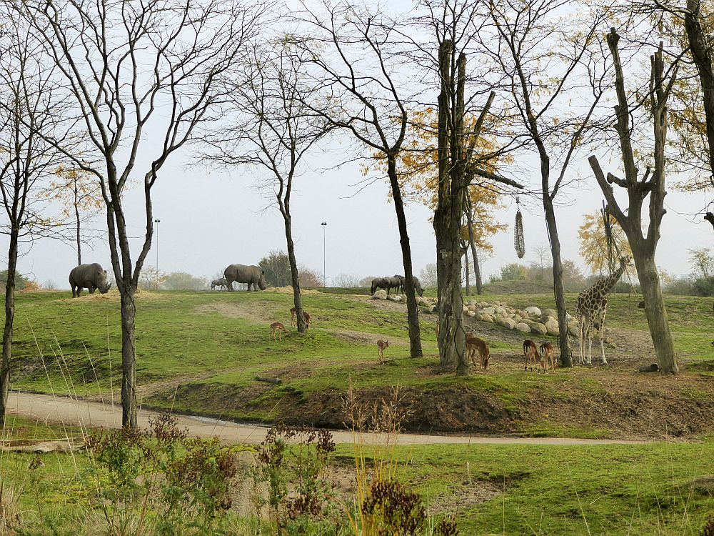 A grassy landscape with a bit of a rise in the background and dotted with trees. Rhinos, some sort of antelopes and a giraffe are visible, grazing.