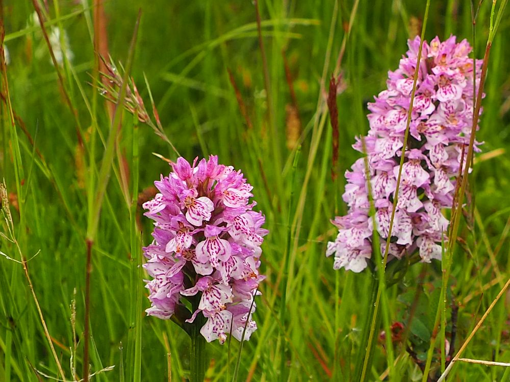 Two clumps of tiny orchids in shades of purple, surrounded by green grass.