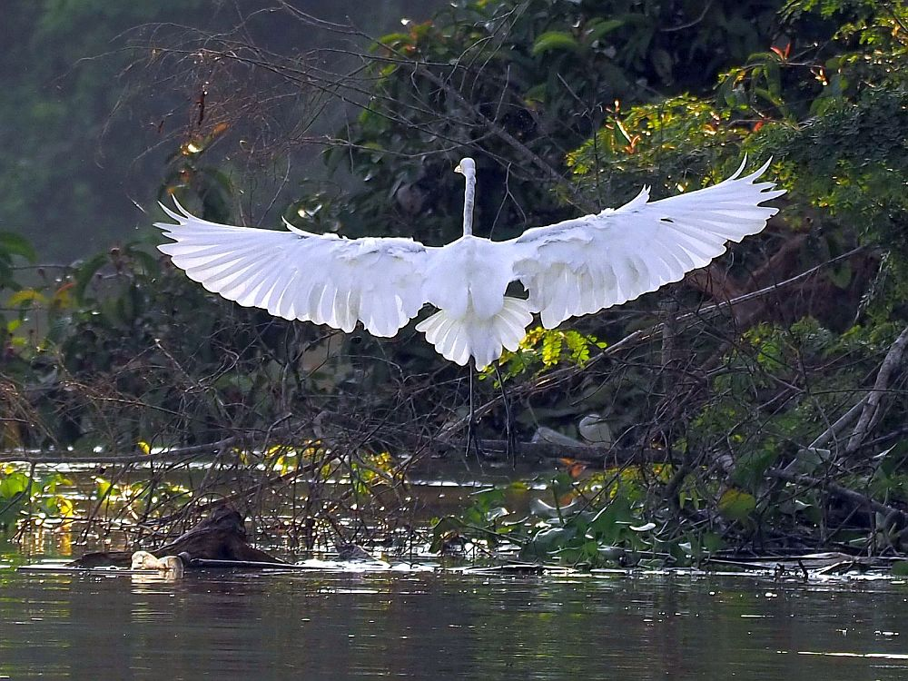 The white crane stands in the Brunei rainforest, its back to the camera, and stretches out its wings straight out to either side, showing each individual white wing and tail feather.