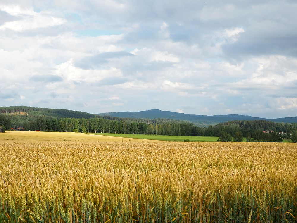 In the foreground is a field of half-grown wheat. Beyond that is a green field and beyond that a forest. On the horizon are some low mountains.