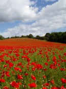 poppies_crop
