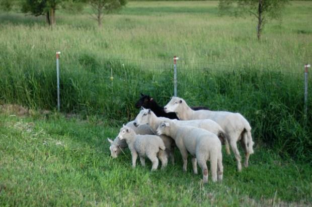 Sheep {Clean.}