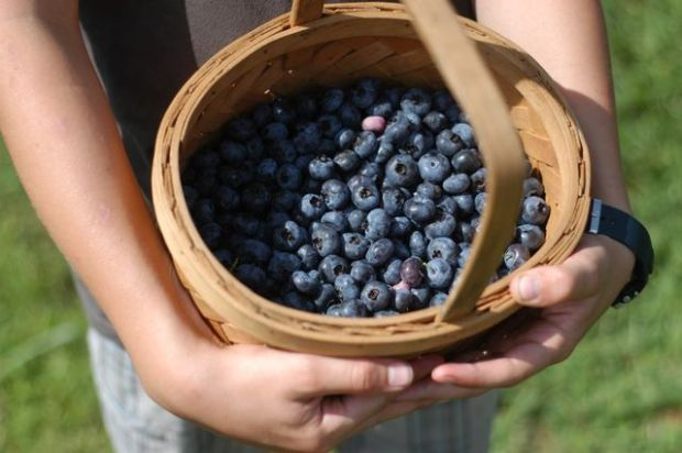 Picking blueberries [Clean.]