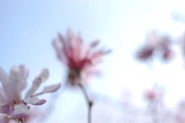 Magnolias | Clean. www.lusaorganics.typepad.com