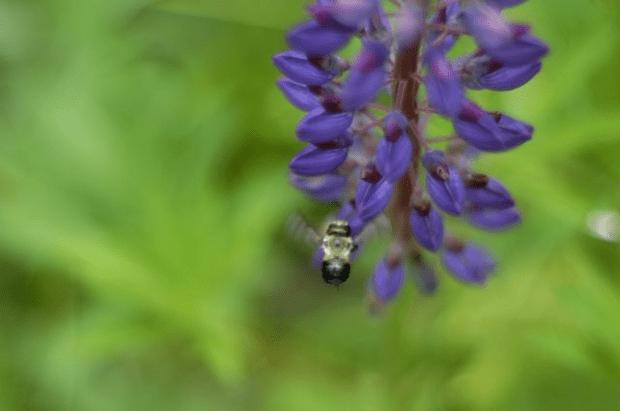 bumblebee & lupine | Clean. www.lusaorganics.typepad.com
