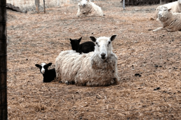 They're cosheeping