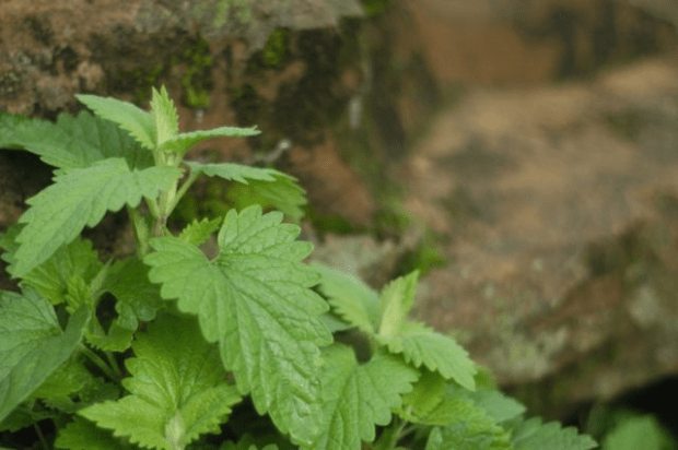Wonderfully Wild: harvesting catnip for tea & tincture | Clean