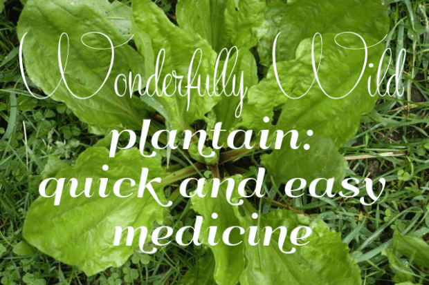 Wonderfully Wild Plantain: quick & easy homegrown medicine