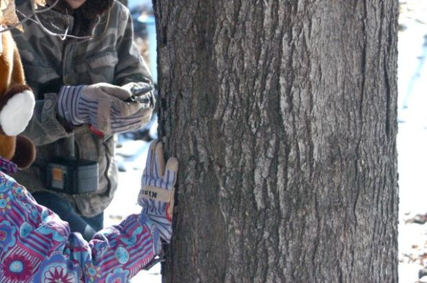 How to tap a maple tree. | Clean.