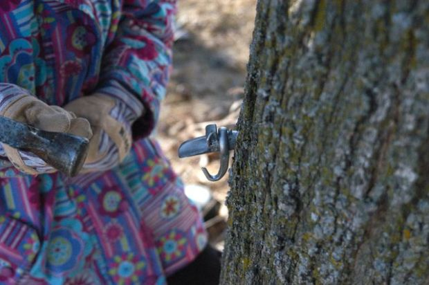 How to tap a maple tree.   Clean.