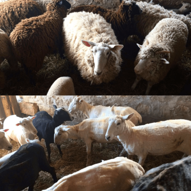 Shearing day - before and after : : www.lusaorganics.typepad.com : : Rachel Wolf