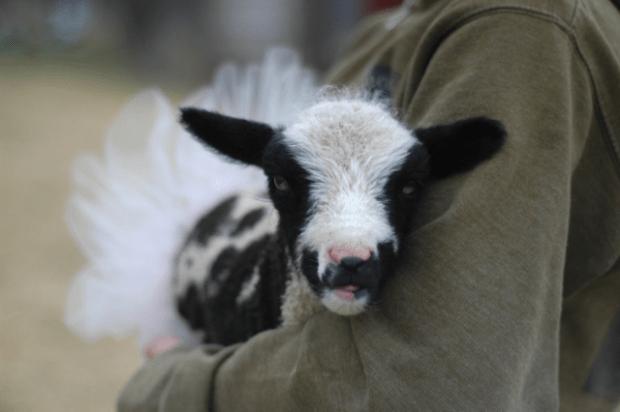 Lambs in Tutus : : www.lusaorganics.typepad.com #lambsintutus