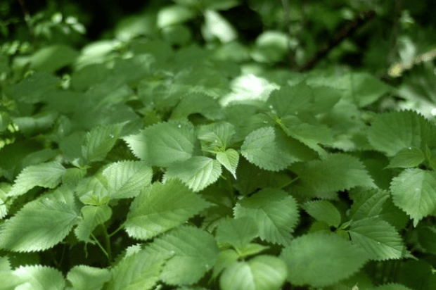 Wonderfully wild nettle: minerals and magic