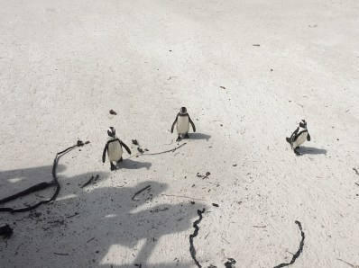 Loved watching them waddle along the beach!