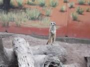 Meerkat on senitel duty