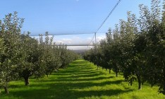 Apple trees in straight lines