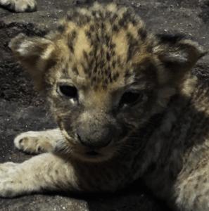 Racine Zoo Lion Cub