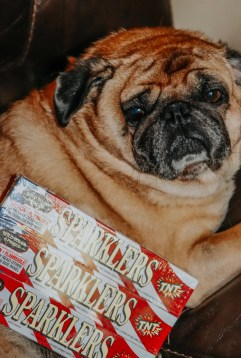 Pug laying on couch, boxes of sparkles rest on his lap