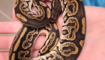 ball python wisconsin humane society