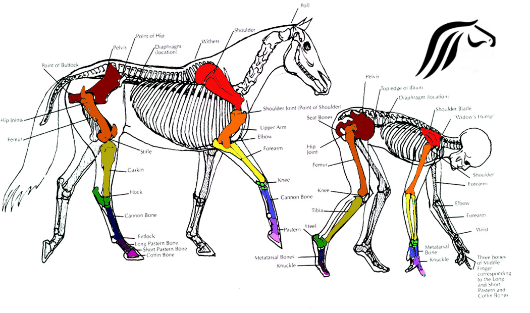 horse anatomy diagram muscles 2000 dodge caravan fuse box equine part 3 10 racing factions 1 horses vs humans