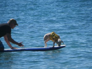Gidget, a miniature Golden Doodle, jumps from Paddle Board.