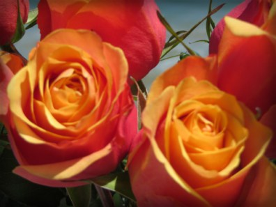 Fire Flame Roses.