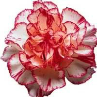 Striped Carnation.