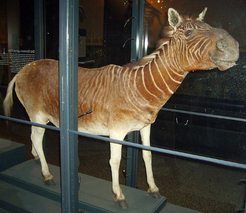 Quagga Specimen Sampled For DNA, Museum für Naturkunde, Berlin. Photo, FunkMonk.