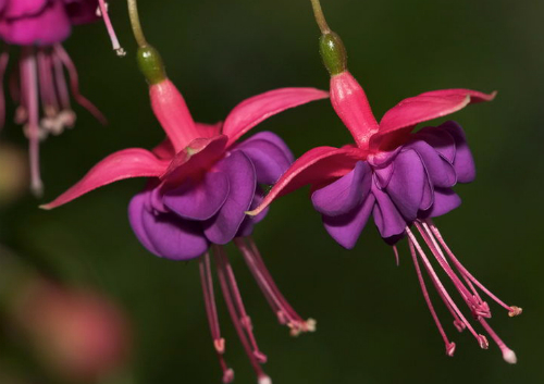 Victorian Flowers: Double Fuschia. Image: Rakey, English Wikipedia.