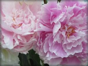 Victorian Flowers: Pink Peonies. Image: B.Rose Media.