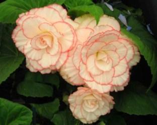 Victorian Flowers. Begonia-tuberhybrida-mardi-gras. Image: GardensOnline.com.