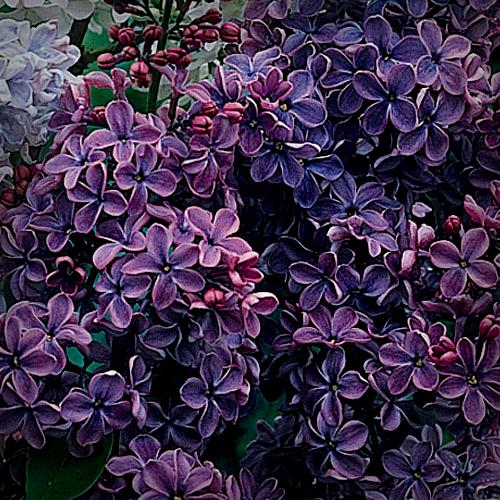 Victorian Flowers, Double Lilacs.