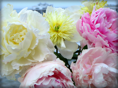 Double Peonies. Image: B. Rose Media.com.
