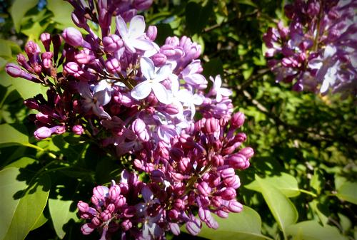 Victorian Flowers, Double Lilacs. Image: John Heglin, Julian, California.
