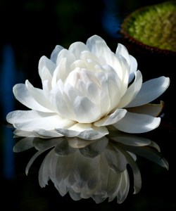 Giant Victoria Water Lily. Image: Bilby, Wikipedia.