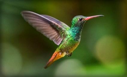 Hummingbird. Image: TexasHillCountry.com.
