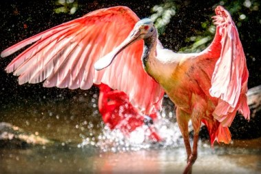 pink colored Roze Lepelaar bird with wings outstretched as it lands in water. Image: Photo Dante' Wikipedia.