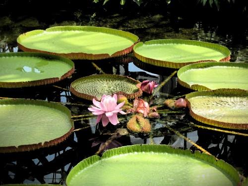 Victorian Amazonia Lily Pads. Image: Wikipedia.