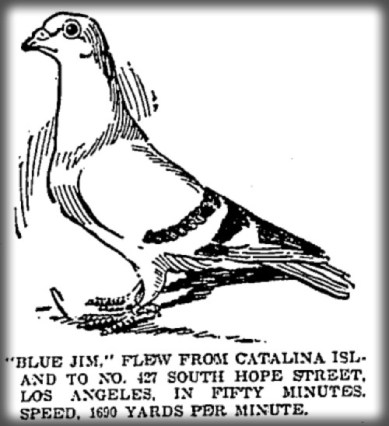 Messenger Pigeon, Blue Jim, c. 1890s. Image: Islapedia.