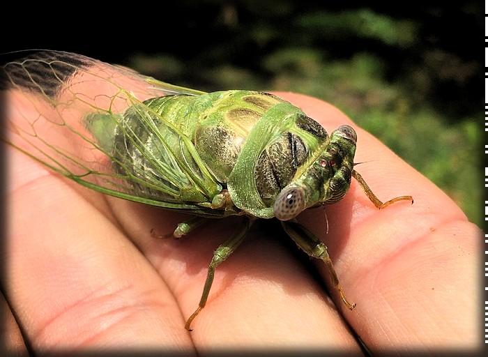 Cicada In Georgia. Image: Ollllonate; Wikipedia.