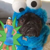 pug cookie monster pug cookie monster adorable cookie ...