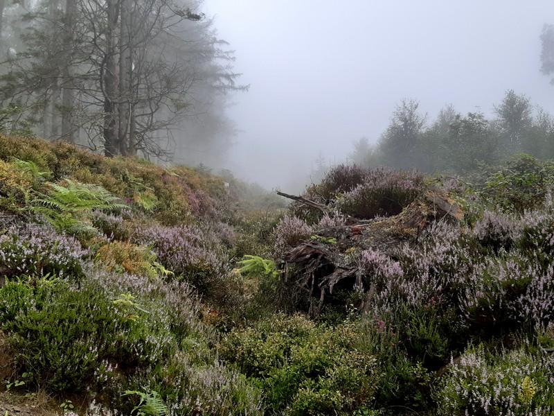 Bruyère forêt Glendalough