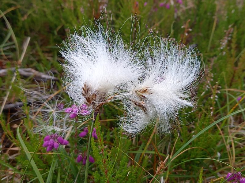 fleur typique irlandaise coton des tourbières ou fleur de coton