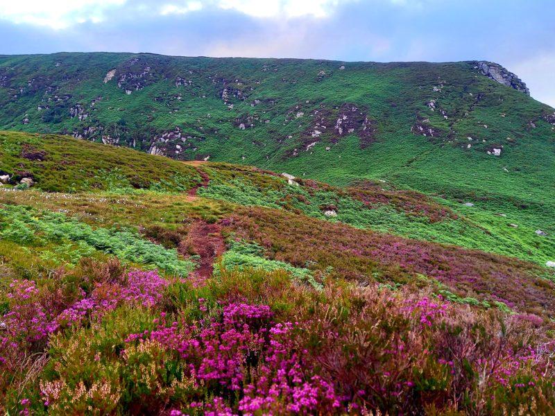bruyère sauvage en fleurs en Irlande