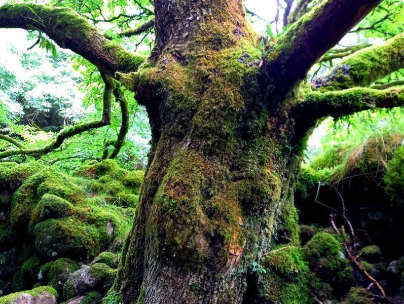 Arbre enchanté forêt Wicklow Irlande